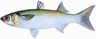 """Résultat de recherche d'images pour """"mulet poisson peche"""""""